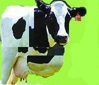 vaca_noastra