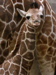 635894799749981492-giraffe